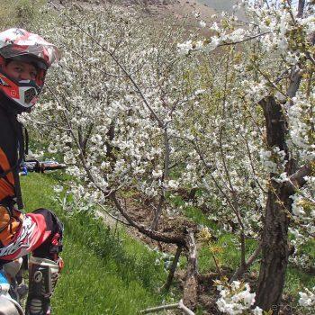 باغهای گیلاس در منطقه وردیج - بهار 1399 2020